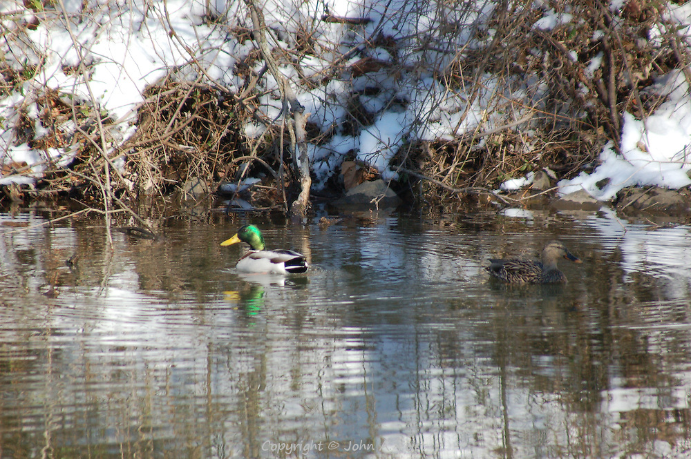 A duck/drake swimming on the D and R Canal in Hillsborough, NJ.  The winter sun creates interesting reflections of the snow, trees and sky.