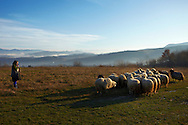 Rural Romanian woman herding sheep in the morning in the region of Maramures