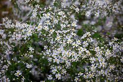 Aster 'Blutenregen' syn. Symphyotrichum 'Blütenregen'