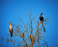 Pair of Double-crested Cormorants perched on a branch in Big Cypress Swamp. Image taken with a Nikon Df camera and 400 mm f2.8 lens (ISO 320, 400 mm, f/5.6, 1/1600 sec).