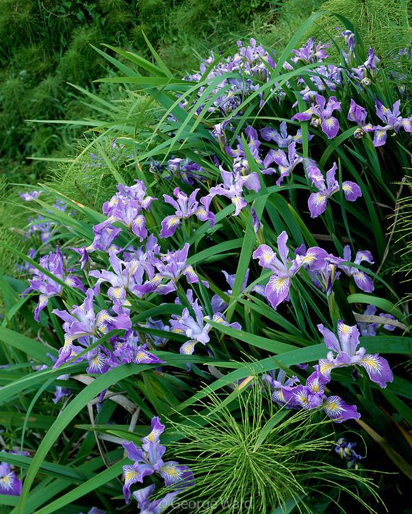 Douglas Iris and Horsetail Growing on Steep Hillside, Redwood National Park, California