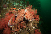 Giant Pacific Octopus, Enteroctopus dofleini, clings to corals on sponges on Browning Wall, Vancouver Island, British Columbia, Canada