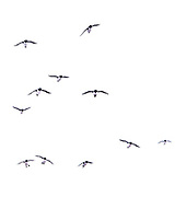 Common guillemots in-flight to the bird cliff at Hornøya, Finnmark, Norway.