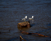 Pair of Ring-billed Gulls at the flooded Delaware River in Lambertville. Image taken with a Leica D-Lux 5 camera (ISO 100, 19 mm, f/8, 1/320 sec).