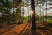 White pine trees at sunset (Pinus strobus)<br />