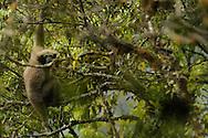 Western Hoolock Gibbon, Hoolock hoolock, Gaoligongshan NP, Yunnan province, China
