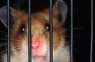 Deutschland, DEU, Cuxhaven: Trauriger Goldhamster (Mesocricetus auratus) schaut durch die Gitterstäbe seines Käfigs.   Germany, DEU, Cuxhaven: Frustrated Golden Hamster (Mesocricetus auratus) looking through the bars of its cage.  