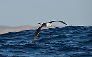 Shy Albatross - Diomedea cauta