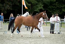 Gisolde<br /> Centrale Keuring Zeeland - Vrouwenpolder 2016<br /> © Hippo Foto - Dirk Caremans<br /> 02/07/16