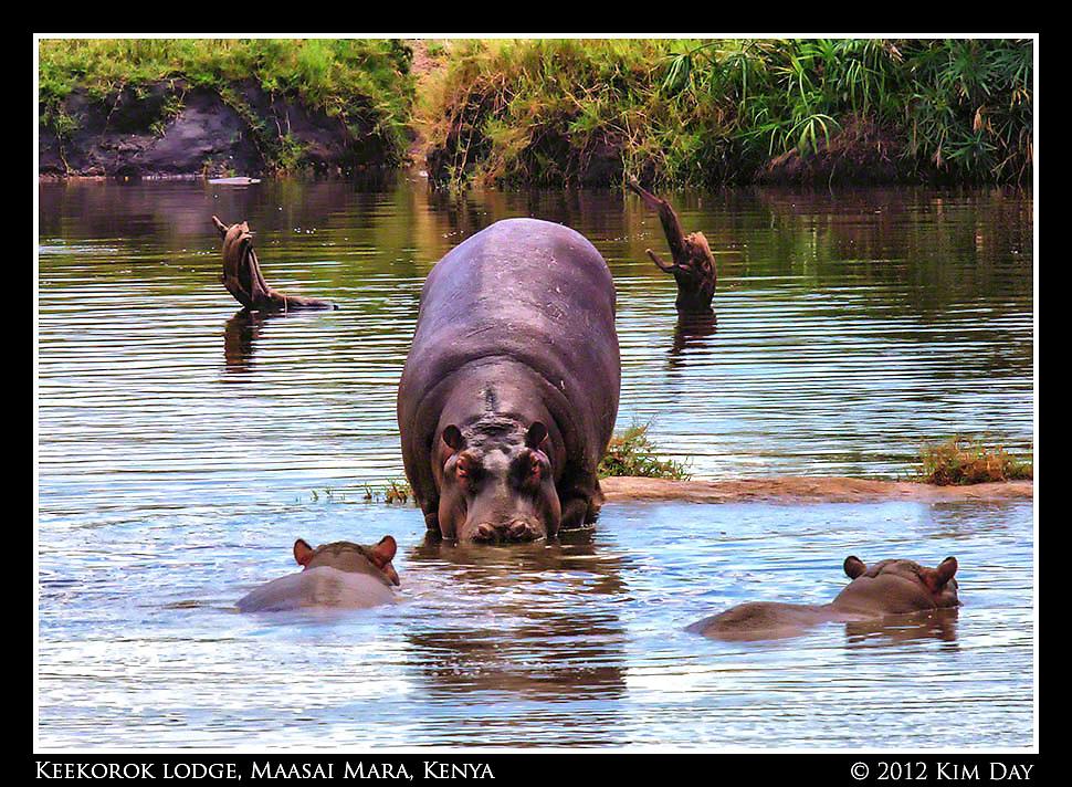 Into The Water.Keekorok Lodge, Maasai Mara, Kenya.September 2012