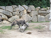 Ouch! Now I feel silly: Baby elephant lands on his trunk after tripping over log at Vienna Zoo<br /> <br /> When you're a baby elephant there's much to learn. <br /> For instance, some logs you can simply step over – and some are so big it's best to go round them.<br /> Unfortunately for this little one at Vienna Zoo, mum was too busy to offer any advice, so he had to learn the hard way, tripping up and landing, rather uncomfortably, on his trunk.<br /> The Schönbrunn zoo in Vienna is the world's oldest animal conservation facility and is also a UNESCO World Heritage Site.<br /> Last month, the zoo announced that one of their elephants had become pregnant from frozen sperm.<br /> Scientists succeeded for the first time in impregnating an elephant with frozen sperm, ultrasound pictures presented by the zoo showed.<br /> The scan showed a 10.6-centimetre-long (4.2 inch), five-month-old elephant foetus with its trunk, legs, tail, eyes and ears clearly discernible.<br /> <br /> The foetus, which was scanned in April, is likely now 20 cm long, the zoo said, and is due to be born to 26-year-old African elephant Tonga in or around August 2013 after a pregnancy of about 630 days.<br /> Elephants have been impregnated with fresh or refrigerated sperm in the past in an effort to protect endangered species, but frozen sperm can be transported further, and allows the female elephant to be inseminated at her most fertile time.<br /> A zoo spokeswoman said the sperm was taken from a sedated wild elephant in South Africa using electroejaculation in the project known internally as 'Operation Frozen Dumbo'.<br /> It took eight months to clear customs on its way to France due to lack of an established procedure for such wares.<br /> The project was a joint effort of Schoenbrunn Zoo, Berlin's Leibniz Institute for Zoo and Wildlife Research, France's Beauval Zoo and Pittsburgh Zoo in the United States.<br /> Both African and Asian species of elephant are endangered, especially the Asia