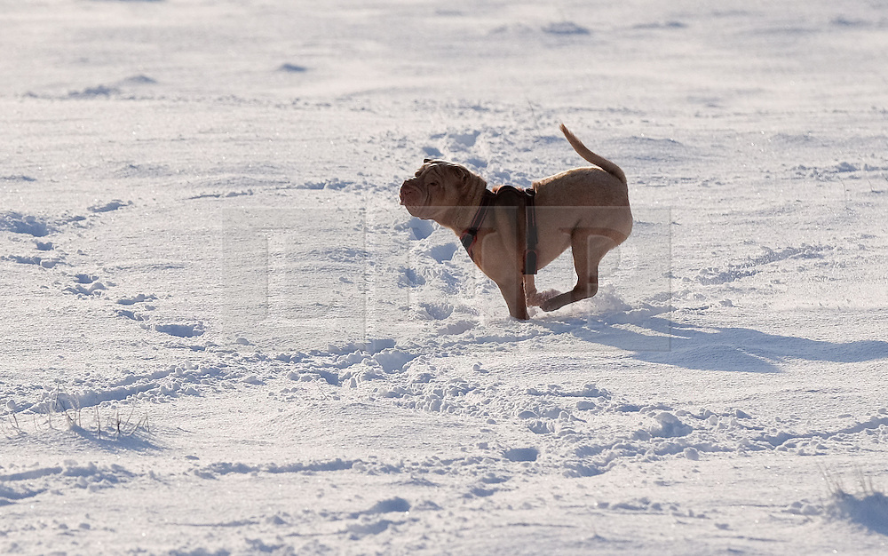 © Licensed to London News Pictures. <br /> 27/12/2014. <br /> Castleton, United Kingdom.<br /> <br /> Roxy the dog enjoys the snow on the North Yorkshire Moors near Castleton after overnight snowfall caused disruption in some parts of the country.<br /> <br /> Photo credit : Ian Forsyth/LNP