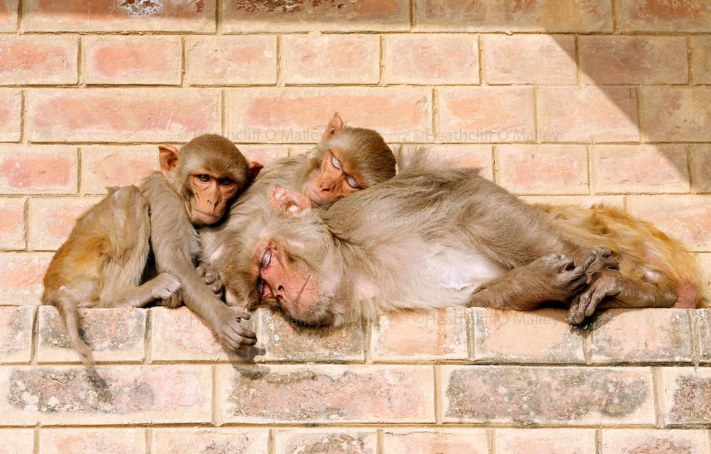"""Varanasi, India. Friday 16 March.A family of Monkeys still dozing in the early morning in Varanasi, one of the holiest cities in India is situated on the western bank of the Ganges River and attracts Hindu pilgrims from across the Globe who come to the Varanasi ghats (steps) to bathe in the waters of Ma Ganga..  Alongside the bathing ghats are also """"burning ghats"""" where bodies are cremated in public, the ashes then given to the waters..     The Ganges river is 1557 miles long and stretches from the Himalayas to the Indian Port of Calcutta, supplying water to one twelth of the worlds population. ."""