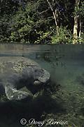Florida manatee, Trichechus manatus latirostris, feeding on hydrilla weed or water thyme ( introduced invasive species of aquatic plant ), Hydrilla verticillata, Homosassa Springs, Florida, USA, North America