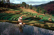 SRI LANKA, AGRICULTURE rice terraces in the southern highlands near Bandarawela