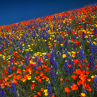 Hillside covered in a variety of spring wildflowers, Antelope Valley, California.