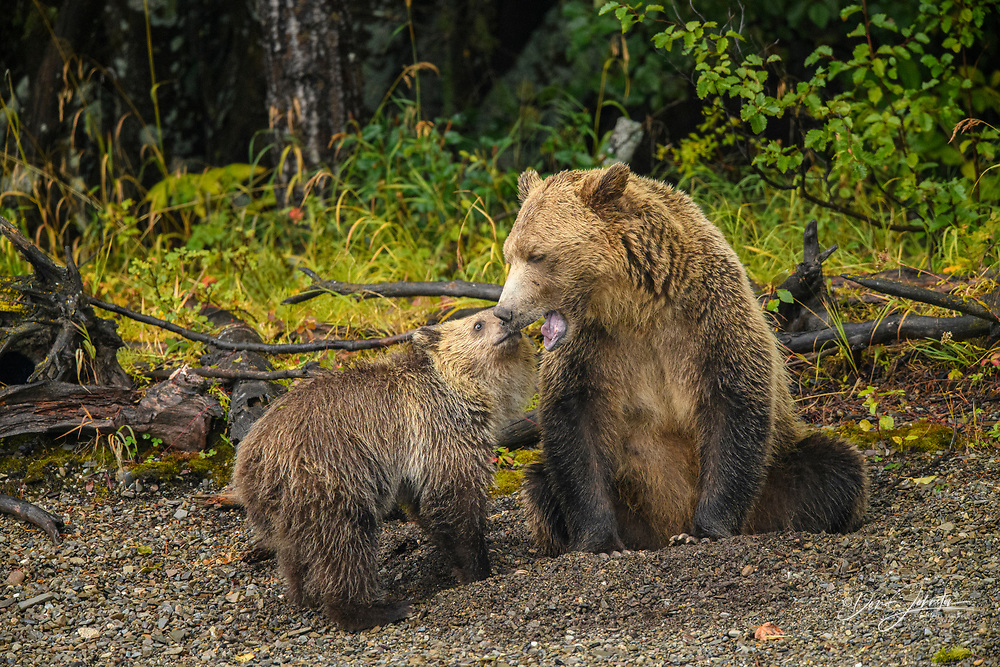 Grizzly bear (Ursus arctos)- Mother and cub resting in the gravel along the shore of the Chilko River, Chilcotin Wilderness, BC Interior, Canada