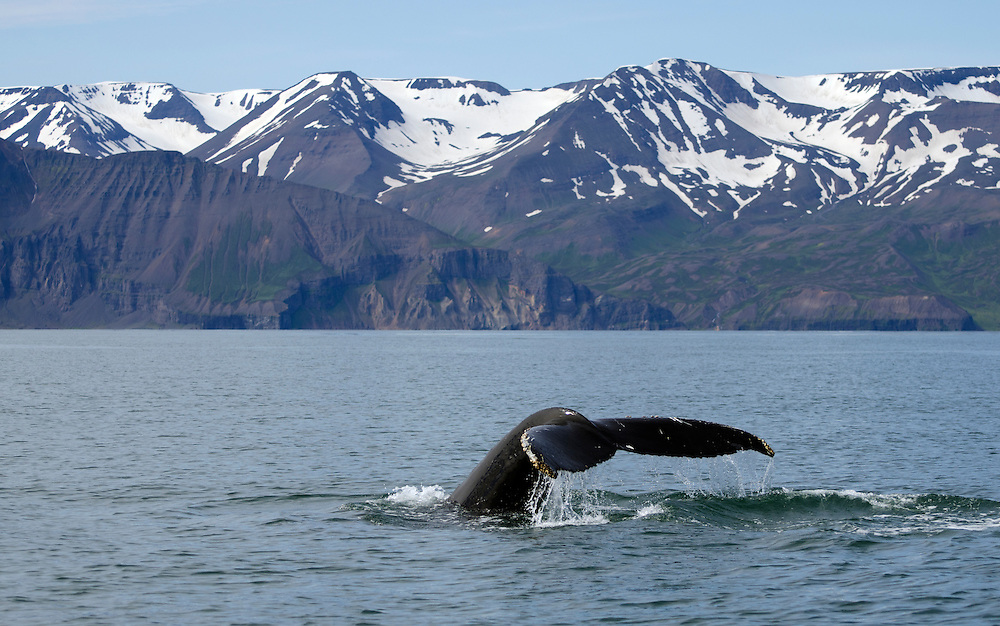 Taken in Skjalfandi Bay, N. Iceland