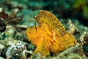 Leaffish or Paperfish (Taenianatus triacanthus)