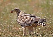 Spanish Imperial Eagle - Aquila adalberti - 3rd calendar year