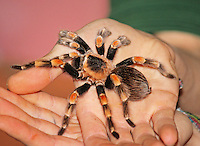 Mexican Red-Kneed Tarantula, ZSL London Zoo Annual Stocktake 2015, Regents Park, London UK, 05 January 2015, Photo By Brett D. Cove