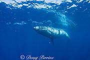 Bryde's whale, Balaenoptera brydei or Balaenoptera edeni, swims past a baitball of sardines, off Baja California, Mexico ( Eastern Pacific Ocean )