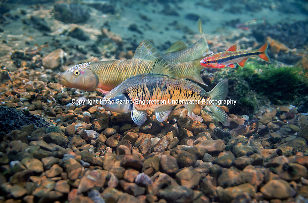 Striped Shiner (with Duskystripe Shiner and Hornyhead Chub)<br /> <br /> Isaac Szabo/Engbretson Underwater Photo