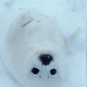 Harp Seal, pup in favorite position on its back on ice pack. Spring.