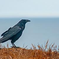 A raven (Corvus corax) perches atop a cliff above the Pacific Ocean near Moss  Beach, California.