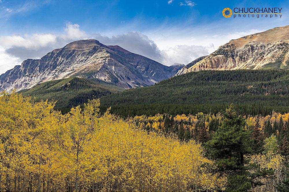 Autumn aspen grove withe Bear Mountain in Glacier National Park, Montana, USA