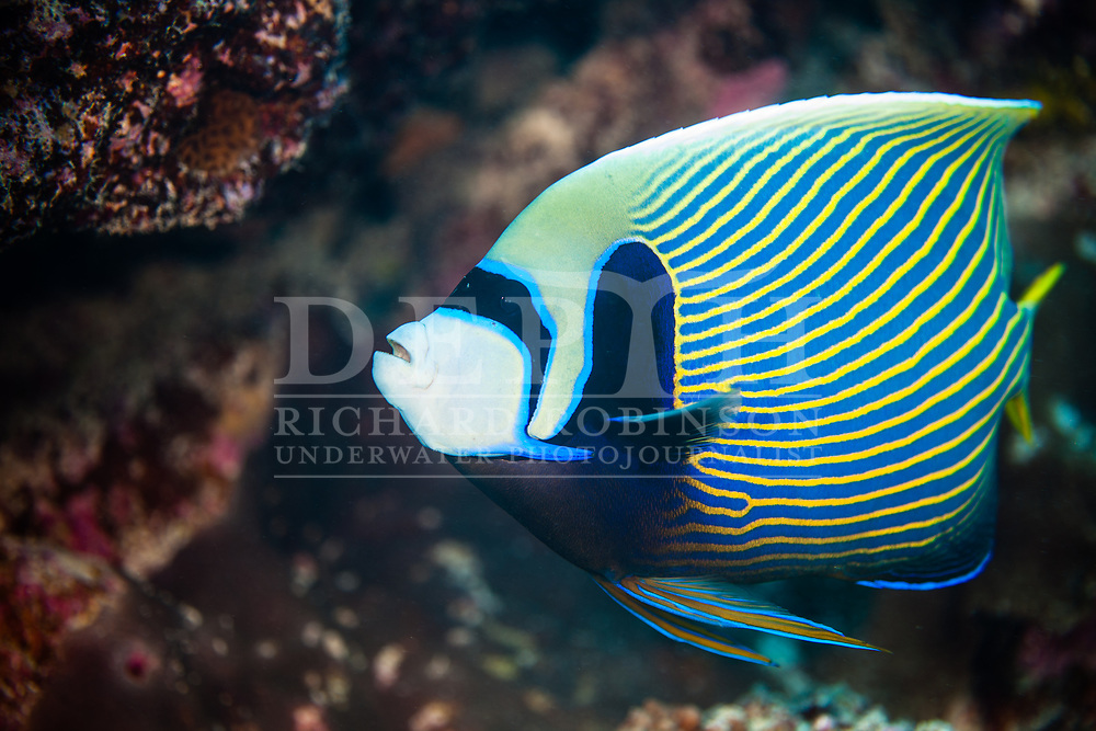 Pomacanthus imperator (Emperor angelfish) at Palmerston Atoll in the  Cook Islands .Not for direct license. <br /> Saturday 03 January 2015<br /> Photograph Richard Robinson © 2015
