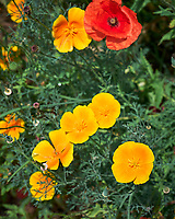 California Poppy. Image taken with a Leica SL2 camera and 35 mm f/1.4 lens.