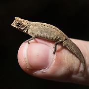 Tiny chameleon, Nosy Mangabe Island, <br /> Madagascar