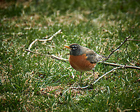 Robin. Image taken with a Fuji X-T2 camera and 100-400 mm telephoto lens (ISO 200, 300 mm, f/5.6, 1/200 sec)