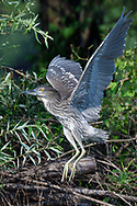Young Black-crowned Night Heron, Nycticorax nycticorax, starting off a branch in East Lake Greenway park, Wuhan, Hubei, China