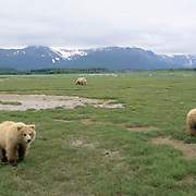 Alaskan Brown Bear, (Ursus middendorffi) Two cubs in front, mother in distance. Alaskan Peninsula.