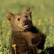 Alaskan Brown Bear, (Ursus middendorffi) Young spring cub. Captive Animal.