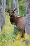 Cow elk in aspens