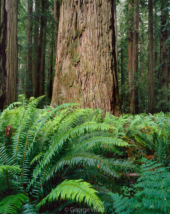 Stout Redwood and Fernsin Stout Grove,Redwood National Park, California
