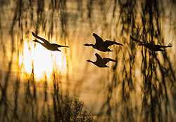 © Licensed to London News Pictures. 11/02/2021. London, UK. Geese take flight at dawn, viewed through the branches of a willow tree, over a freezing Bushy park in south west London. Overnight temperatures reached -5C in parts of the south east. Photo credit: Peter Macdiarmid/LNP