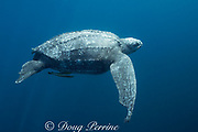 Pacific leatherback sea turtle, Dermochelys coriacea, critically endangered, with shark bites out of front and rear flippers, Kei or Kai Islands, Moluccas, eastern Indonesia, Banda Sea, commensal remoras under turtle