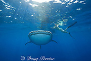 whale shark ( Rhincodon typus ) and snorkeler, Kona Coast of Hawaii Island ( the Big Island ) Hawaiian Islands, USA<br /> ( Central Pacific Ocean ) MR 360