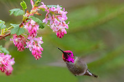 An Anna's hummingbird (Calypte anna) approaches a red flowering currant (Ribes sanguineum) to feed in Snohomish County, Washington.