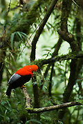 A male Andean cock-of-the-rock (Rupicola peruvianus), Peru's national bird, in the cloud forest on the eastern foothills of the Andes, between the Puna highlands and the lower Amazon Basin, Peru.