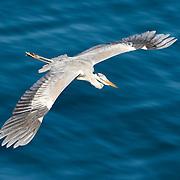 Grey heron (Ardea cinerea) in flight in Kannoura, Kochi prefecture, Japan. アオサギ