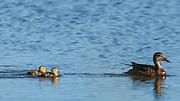 USA, Oregon, Baskett Slough National Wildlife Refuge, Gadwall hen (Anas strepera) leading her ducklings.