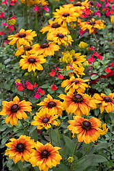 Rudbeckia 'Summerina Patio Yellow' syn. Echibeckia