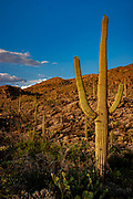 Saguaro cactus in Saguaro National Park, Arizona