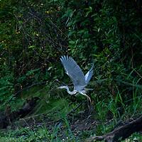 A heron flies through Peru's Amazon Jungle.