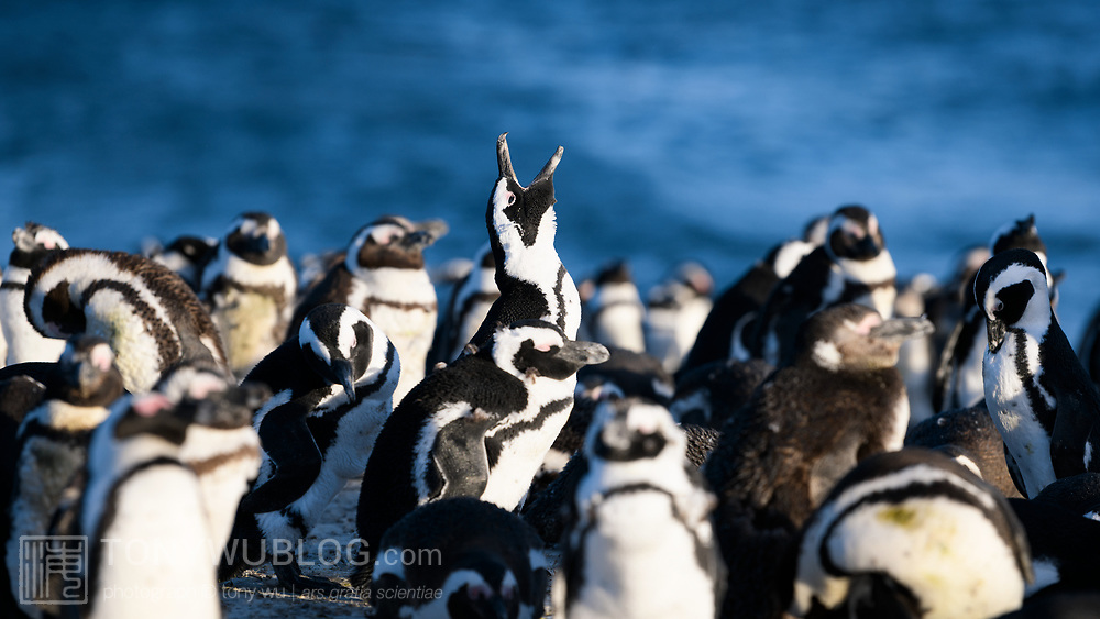 Endangered African penguins (Spheniscus demersus) gathered at dusk, with one calling out in the distinctive donkey-like braying sound that these birds make, which is why they are also known as jackass penguins